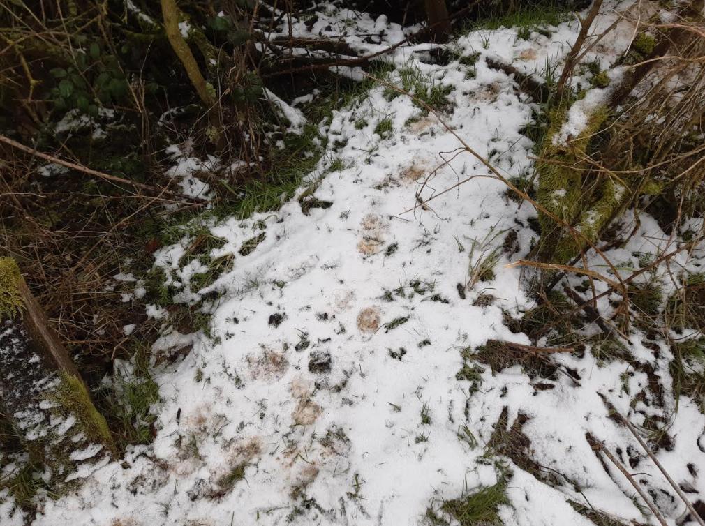 Muddy badger paw prints in the snow, Buckinghamshire, UK.